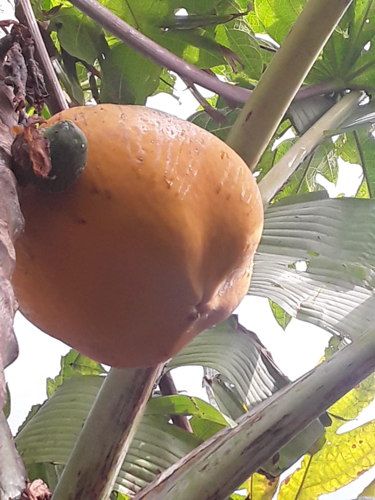 large orange sun ripened papaya at the top of the tree waiting to be harvested