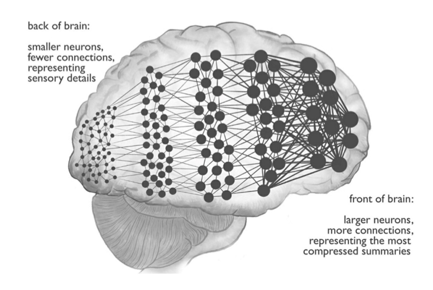 Brain diagram showing smaller neurons loosely connected in back of brain goinf forward to densely packed, highly connected neurons at the front