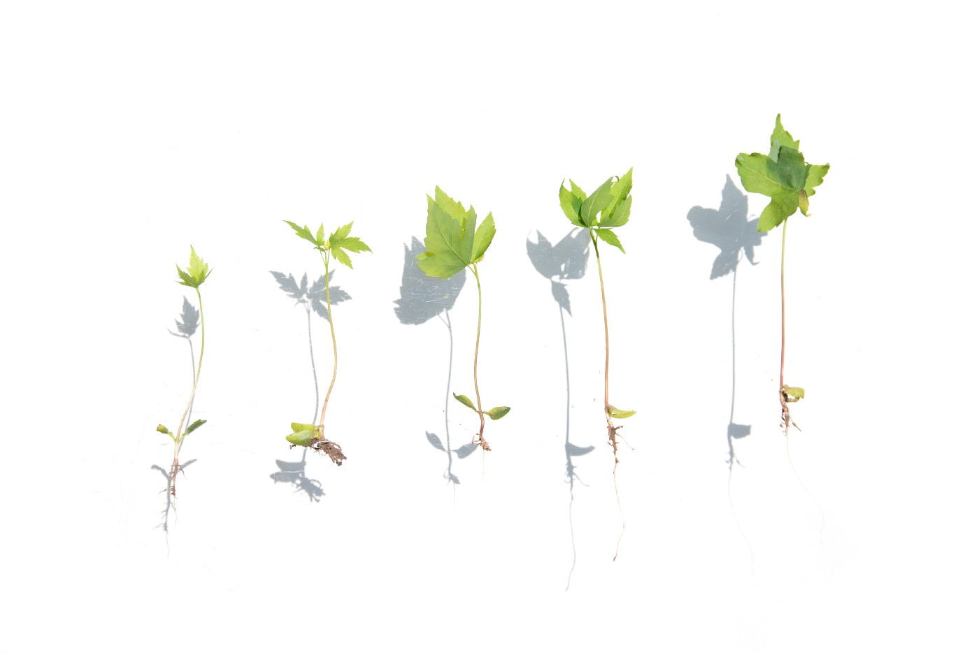 An image of five green seedlings, in advancing sizes.