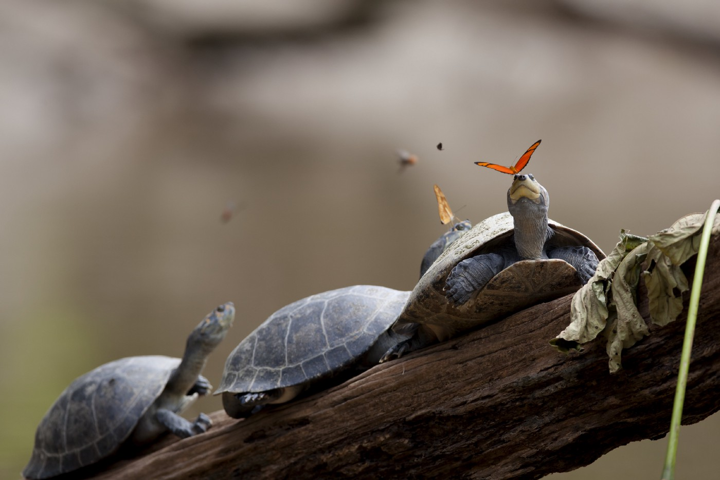 Butterflies feeding on the tears of turtles resting on a log in Ecuador