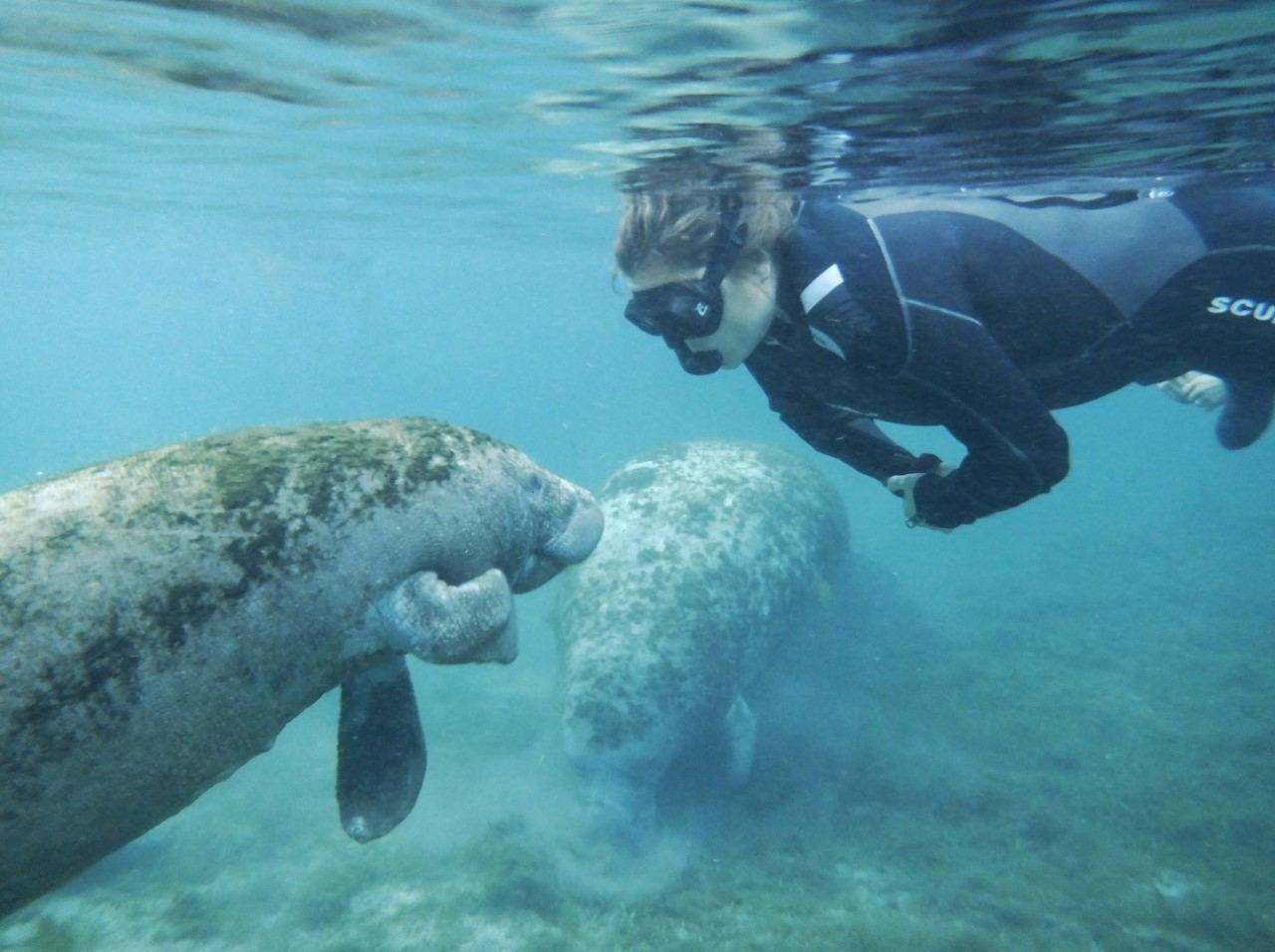 person in wetsuit with snorkel as 2 manatees swim near her