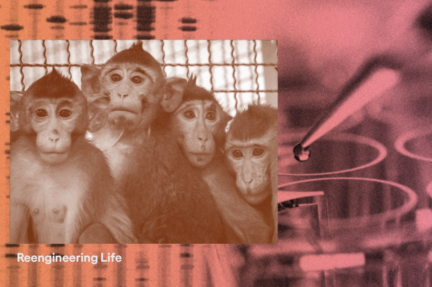 A collage of photos: macaque monkeys, a dropper, and a nucliec acid stain