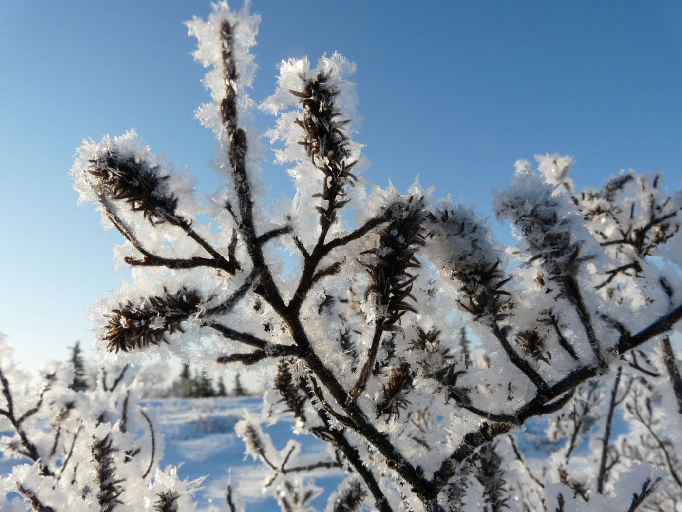 A willow shrub is covered in ice, sparkling on a sunny day.