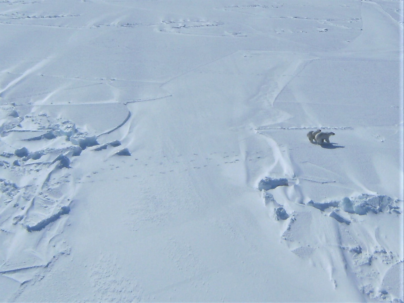 Aerial view of an adult polar bear with two cubs at her side walking over snow.