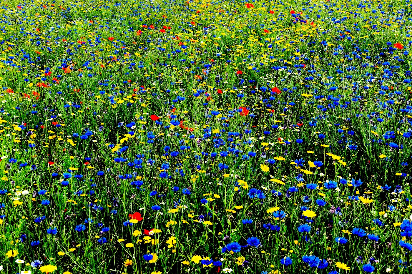 Blue, red and yellow flowers in a field