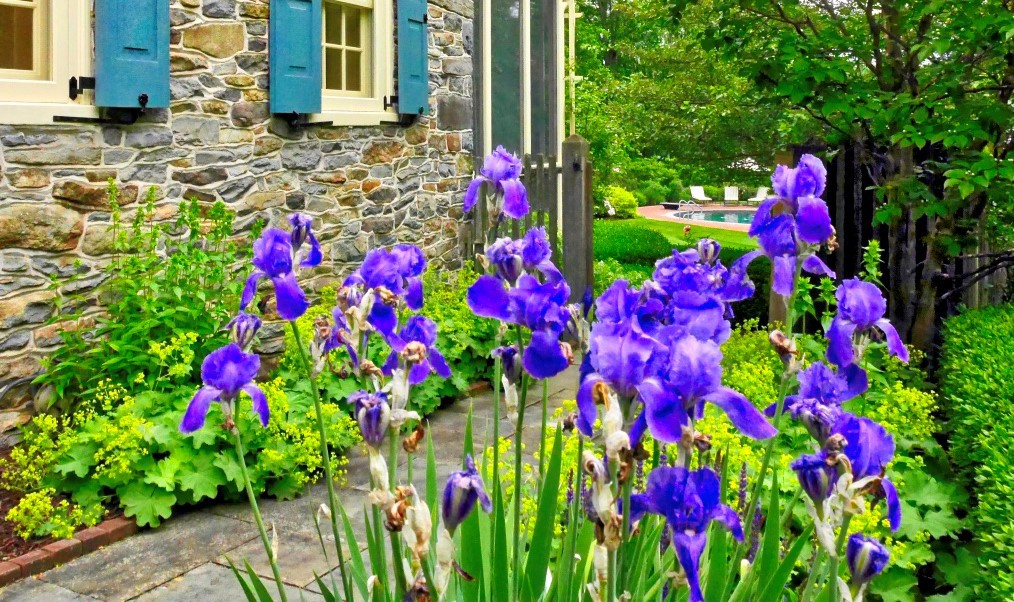 Purple irises blooming in front of gray stone house with blue shutters.