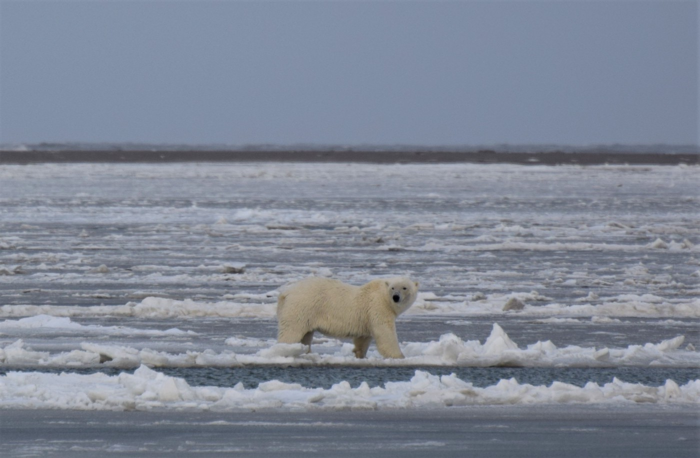 A profile of a polar bear walking through ice and water.