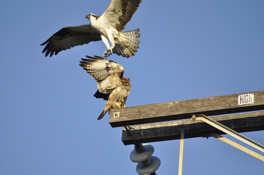 An osprey tries to grab at a perched red tailed hawk on a telephone pole