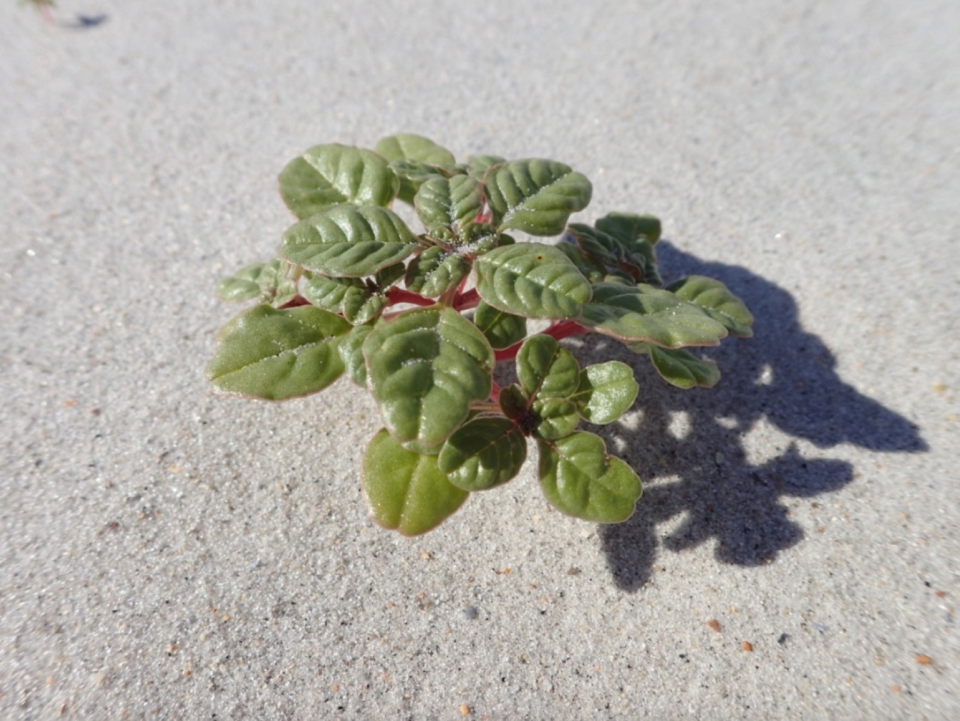 a green plant with broad leaves grows low in the land