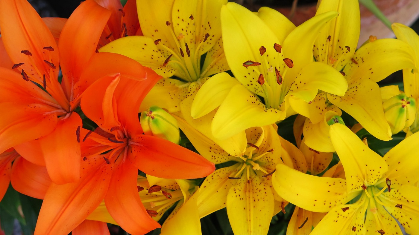 Close clusters of orange and yellow lilies.