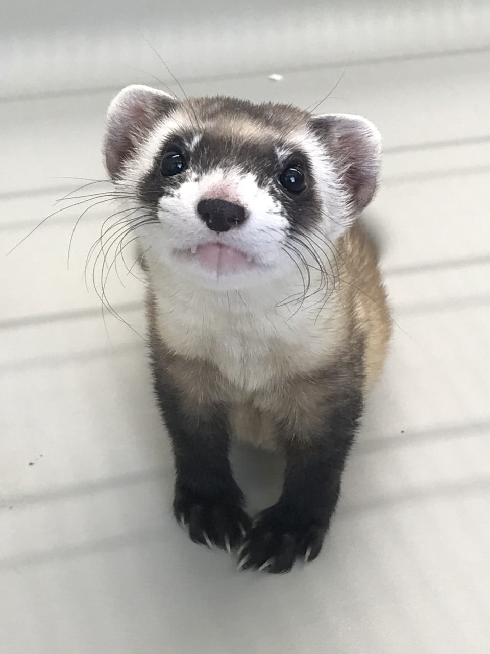 A black-footed ferret with its teeth sticking out