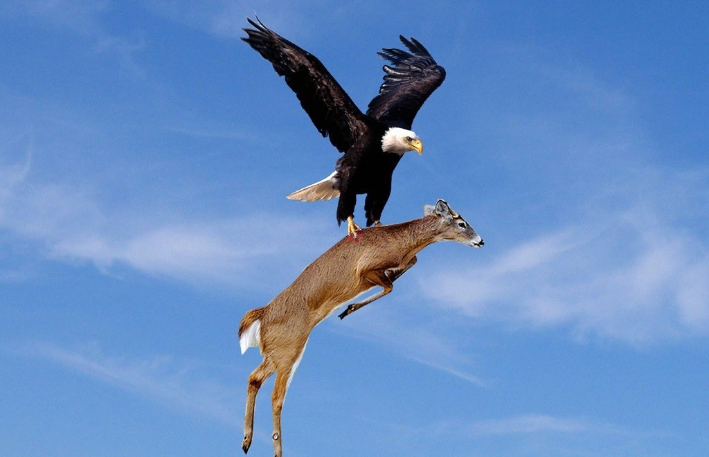 An eagle lifting a deer from the ground