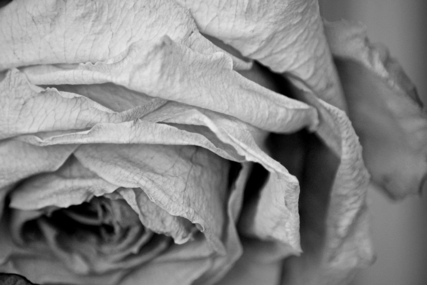Black and white image of a dried rose.