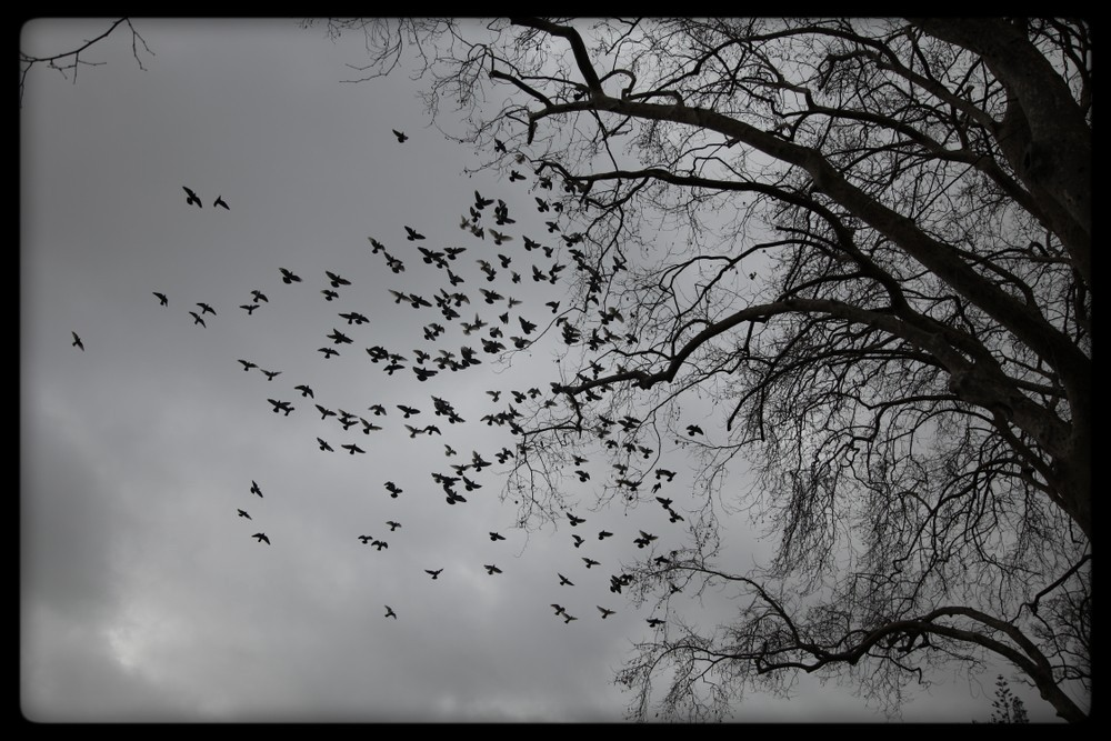 grayscale: cloudy day, blackbirds in flight off leafless tree.
