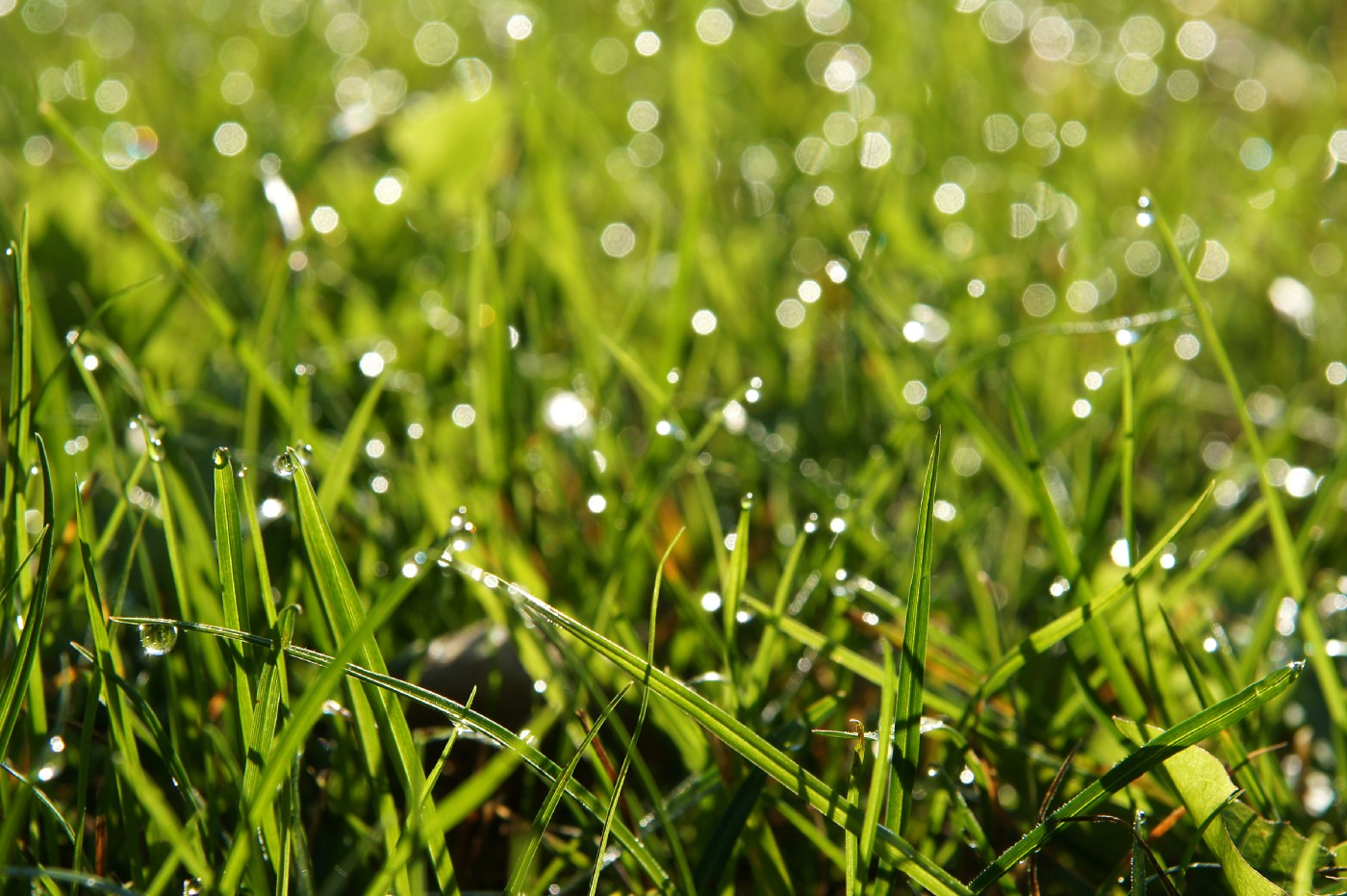 A field of sweetgrass covered in dew that is illuminated by morning light.