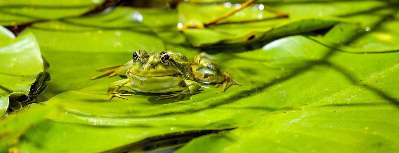 Closeup of a green frog on a lily pad