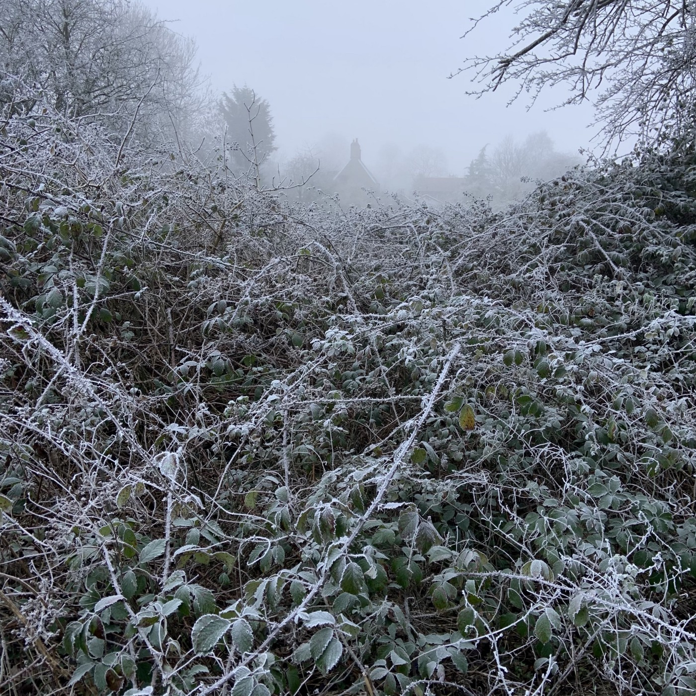 Frosty hedgerow with houses in the distance