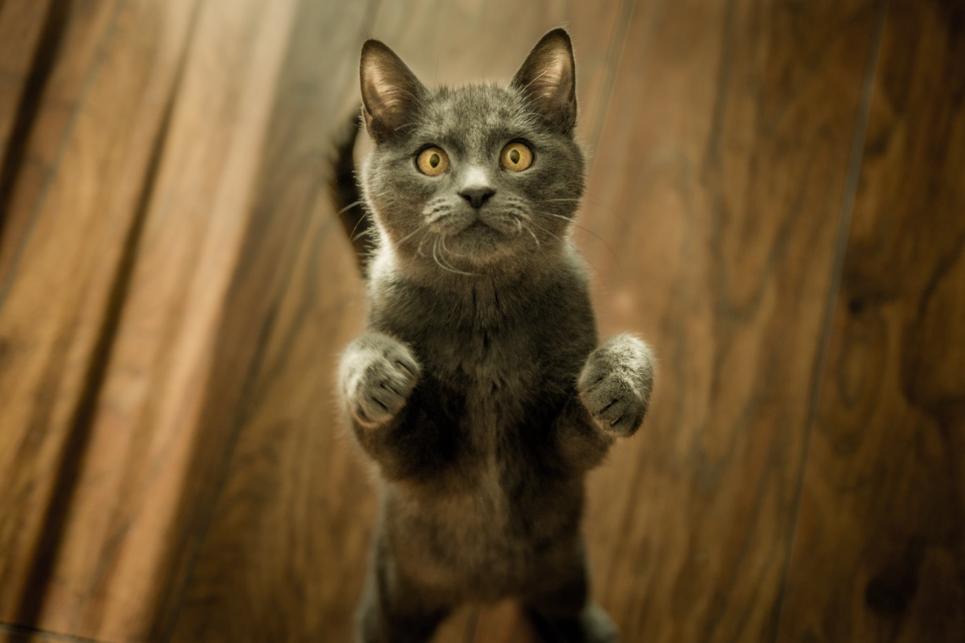 Photo of a gray cat standing on its back legs