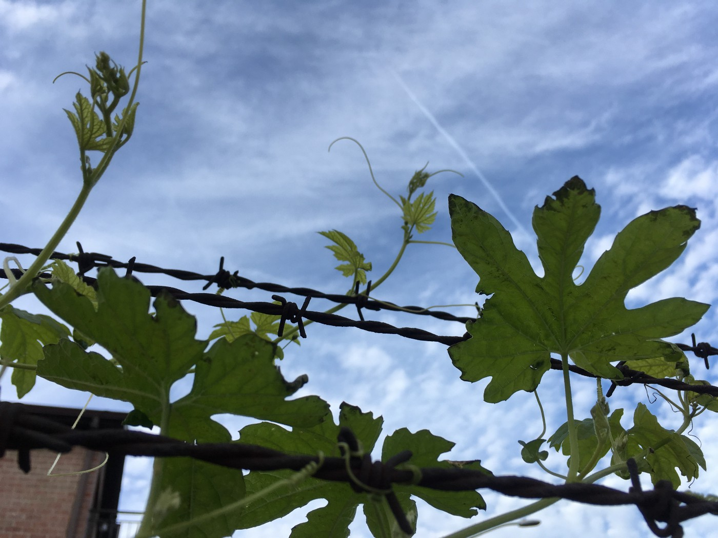 Medicinal plant ampalaya or bitter melon vine growing around barbed wire in Queens, NY, USA.