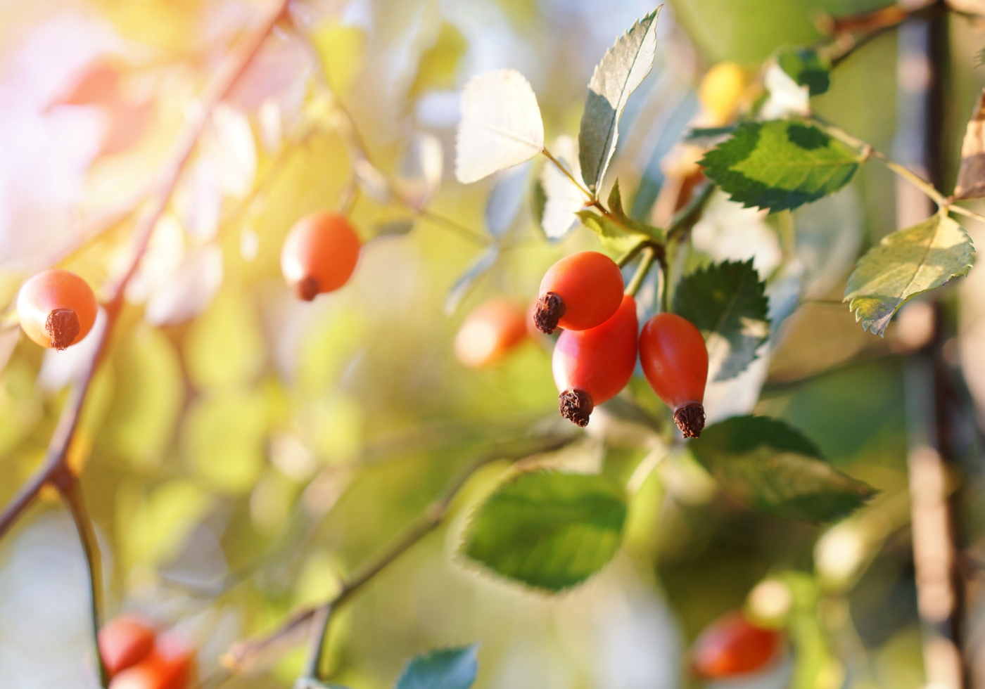 Image of light filtering through yellowing leaves and rosehips.