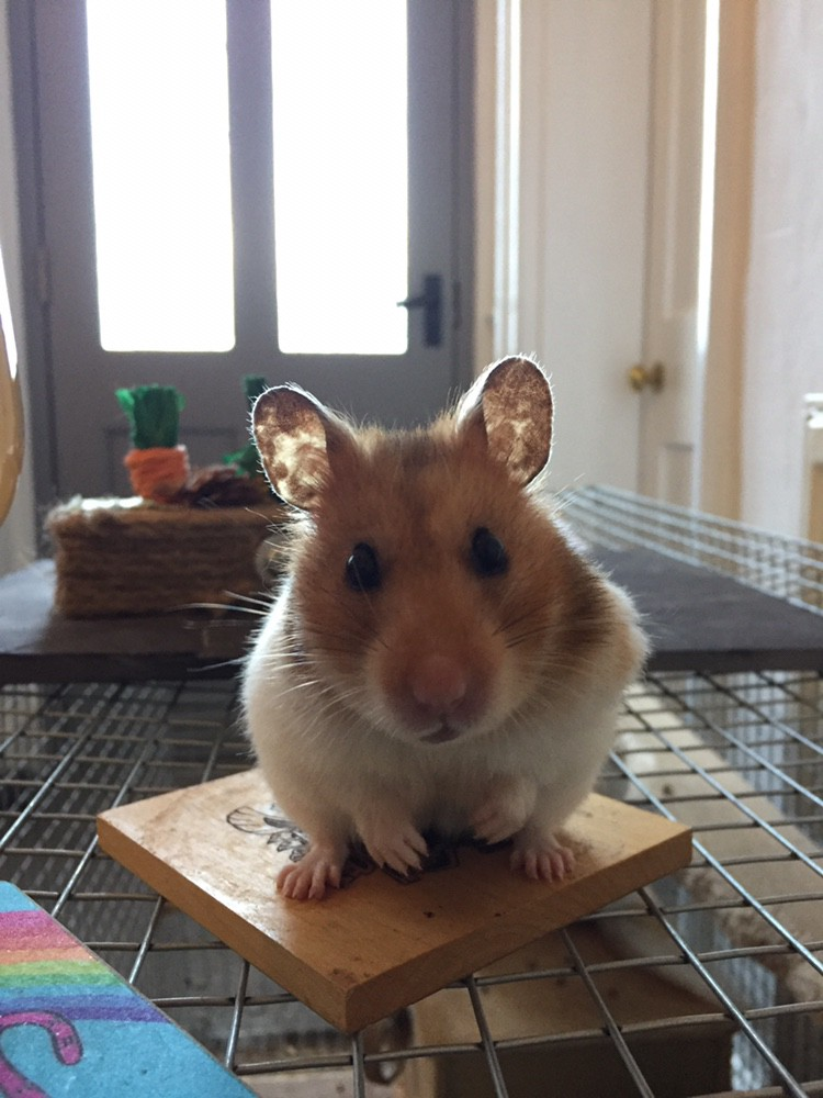Image: author's own. Here is a picture of my friendly hamster, Isabella. She says hi.