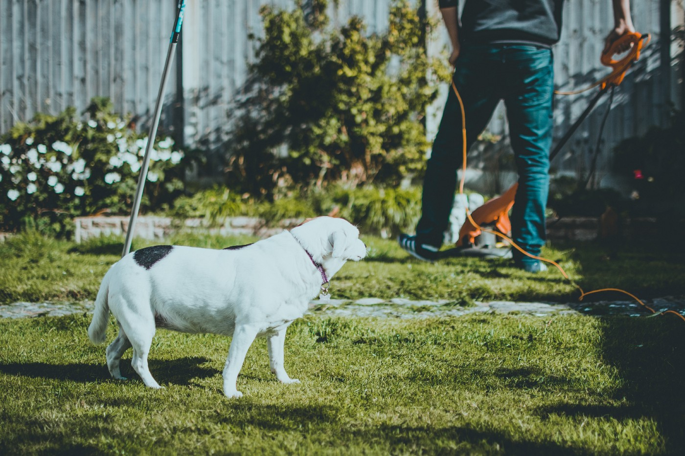 A dog watched a guy trim his suburban lawn.
