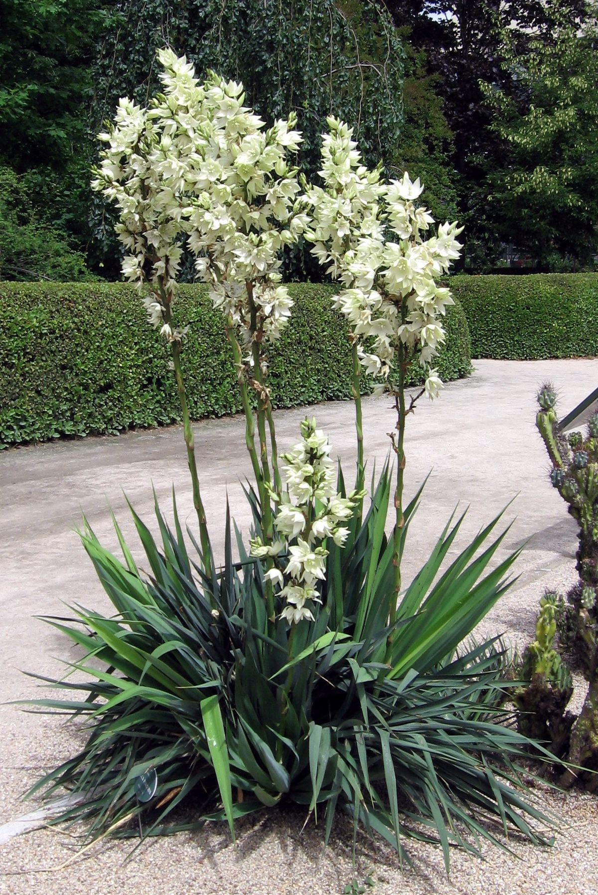 Yucca Plant in a driveway and manicured lawn
