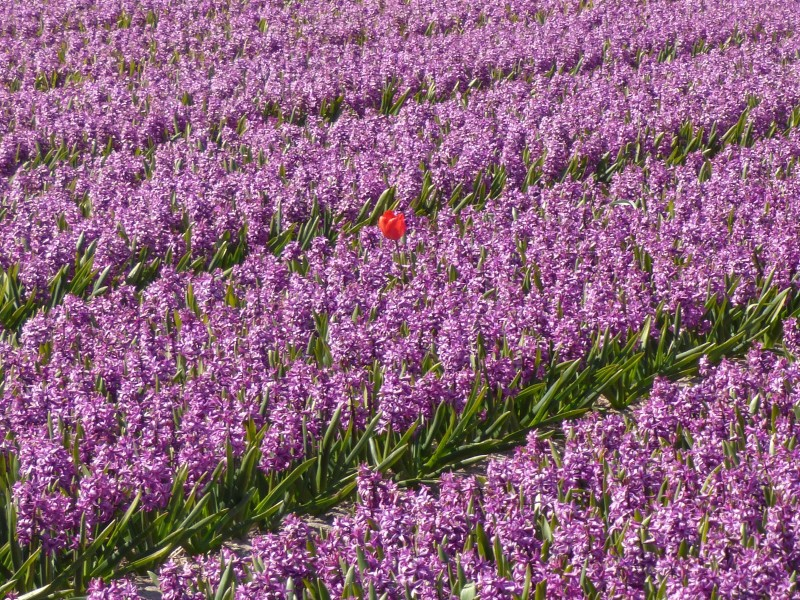A single red tulip growing in a purple hyacinth flower bed
