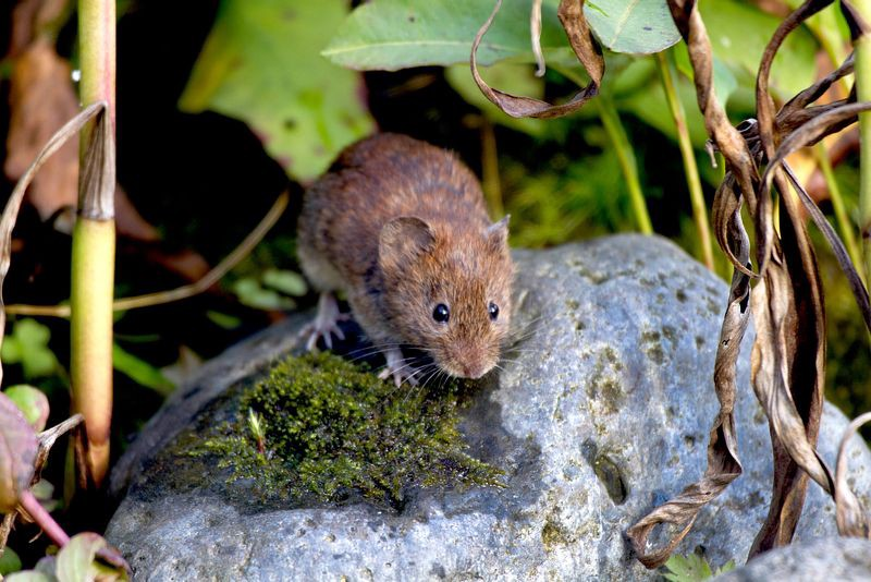 A Bank Vole standing on a rock surrounded by vegitation. Photograph by John Harding
