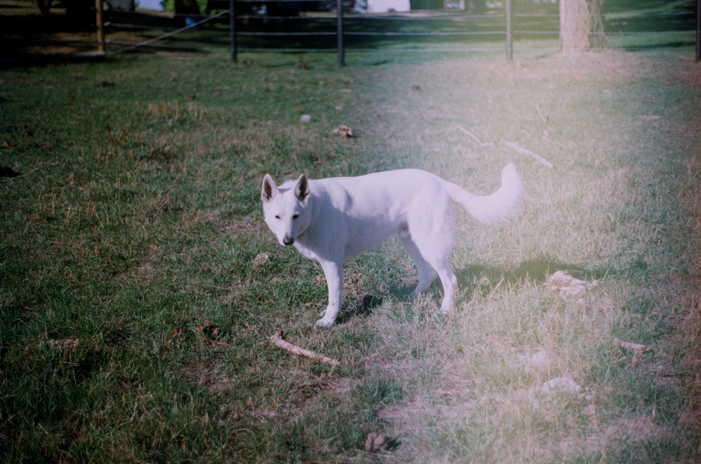 a photograph of a white dog with a haze