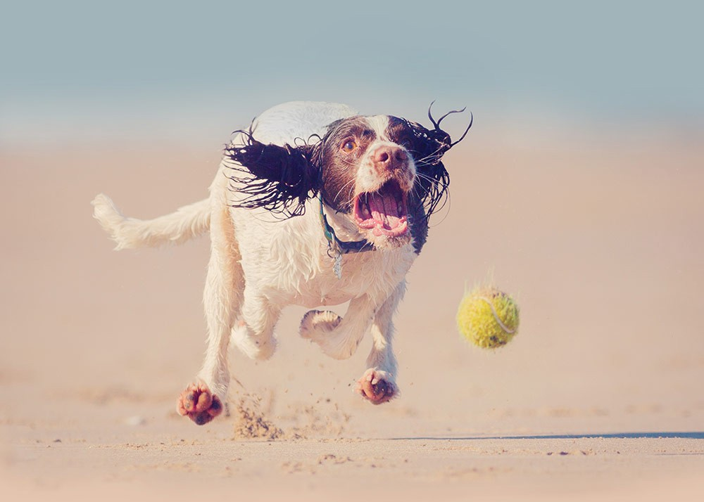 Exasperated dog running and trying to catch a ball.