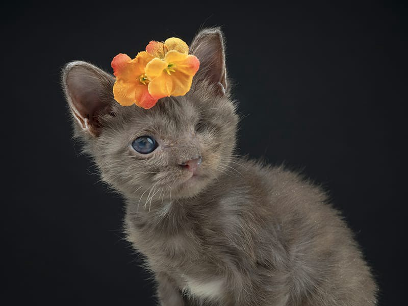 A photo of a small grey kitten that is missing one eye, wearing orange flowers on their head