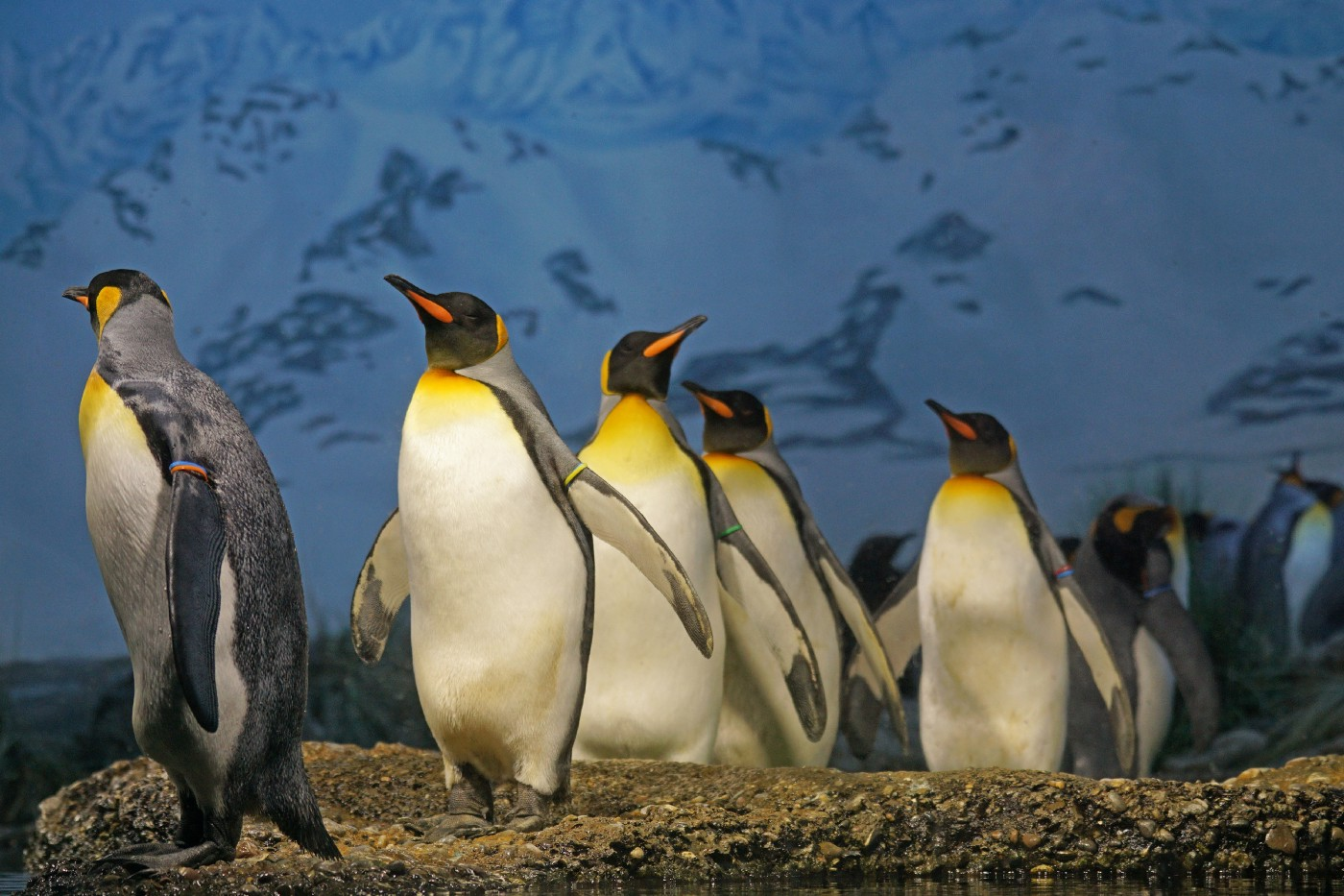 Several penguins with orange marked beaks climb a hill.