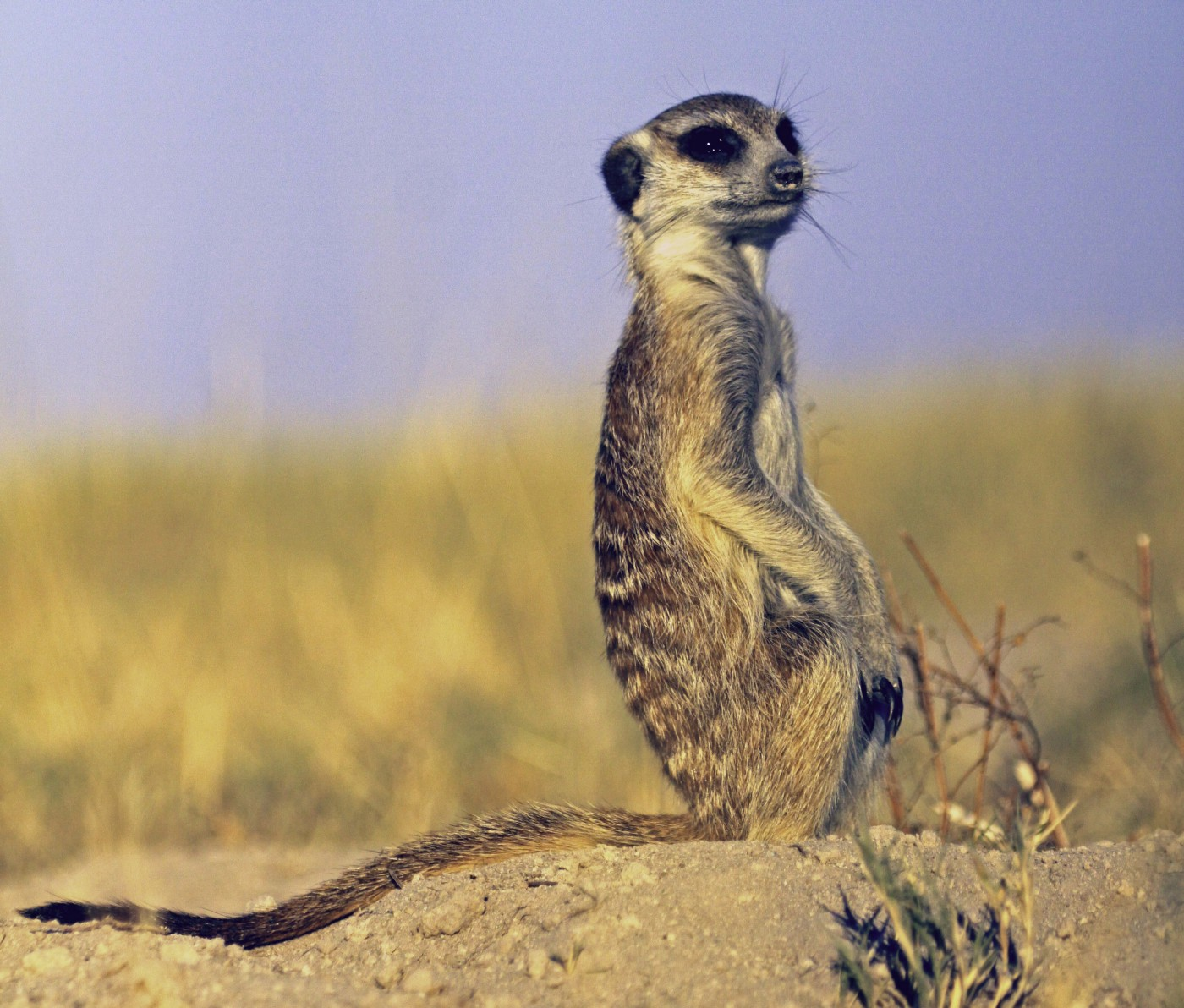 Meerkat sitting on its haunches