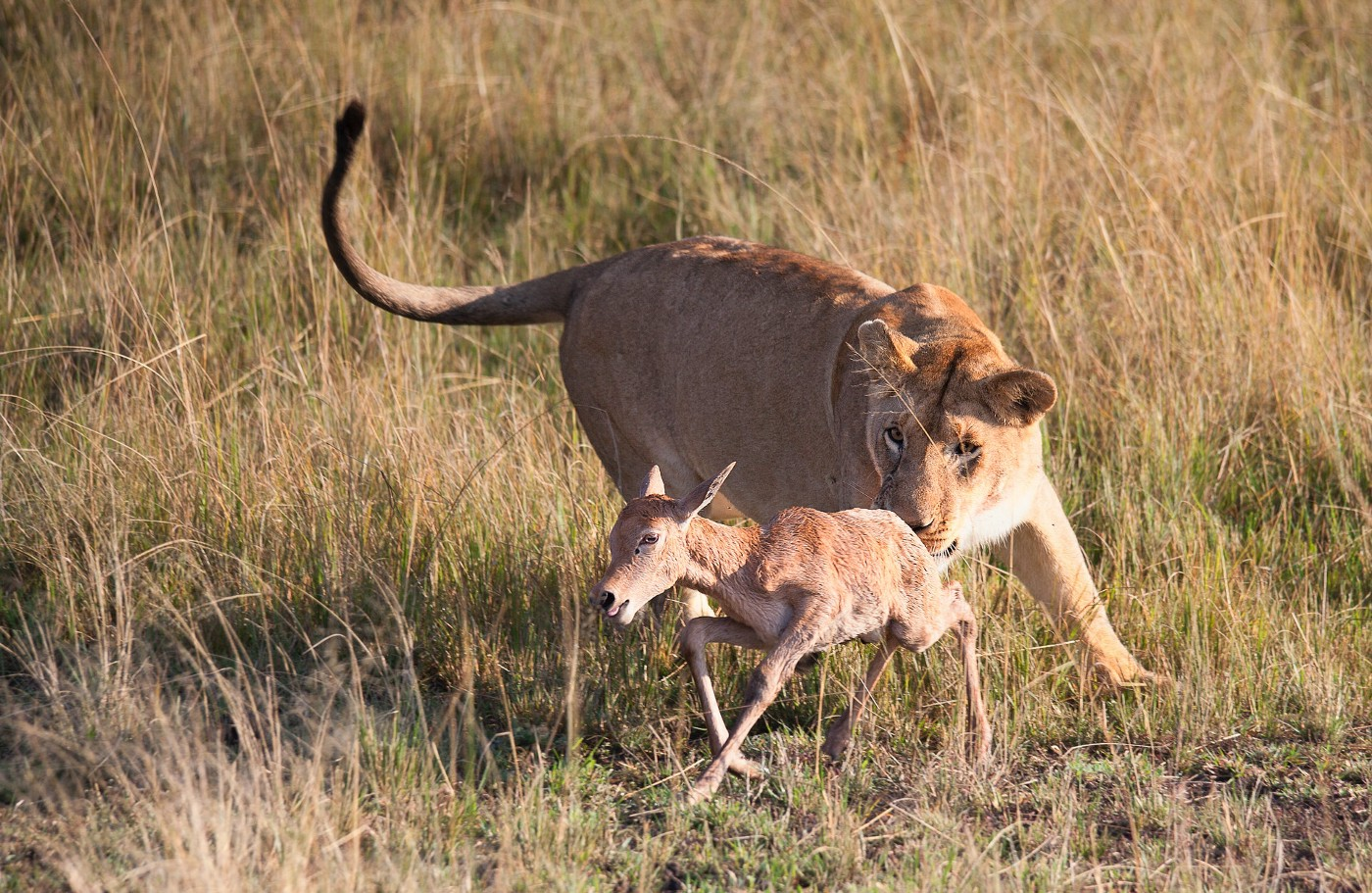 Lion hunting an antelope—a metaphor for meetings killing a company