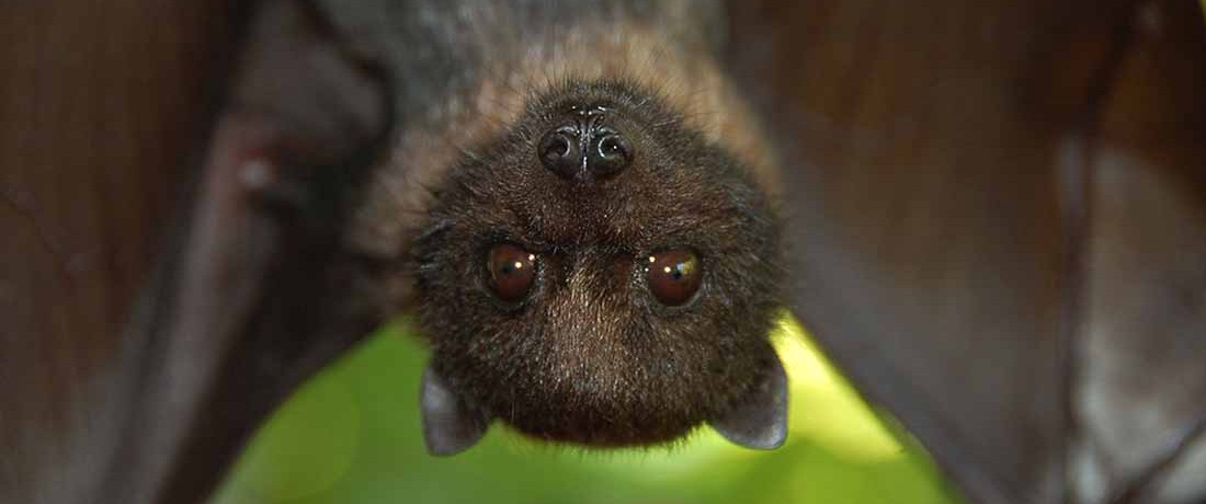 A bat hangs upside down and looks into the camera