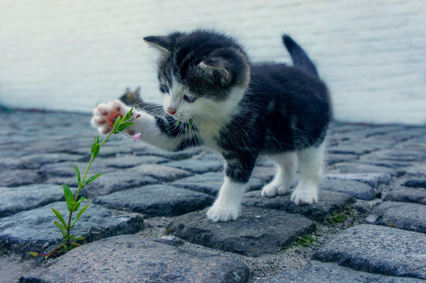 Kitten pawing at flower