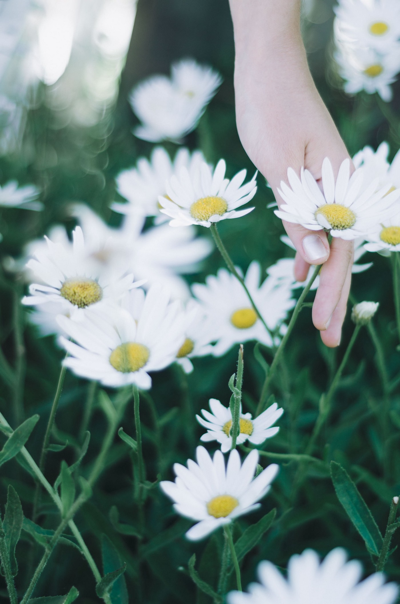 A woman's hand picking a white daisy.