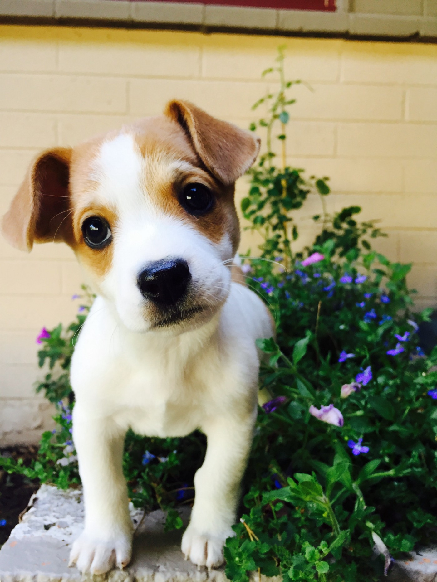 A white and brown short coated puppy (Jack Russel Terrier) looking at the camera.