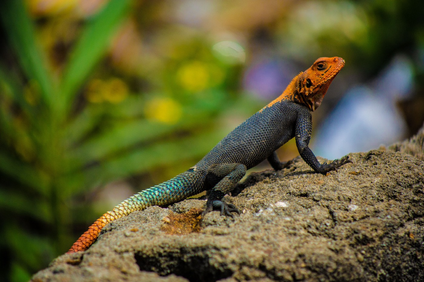 Lizard Changing colours