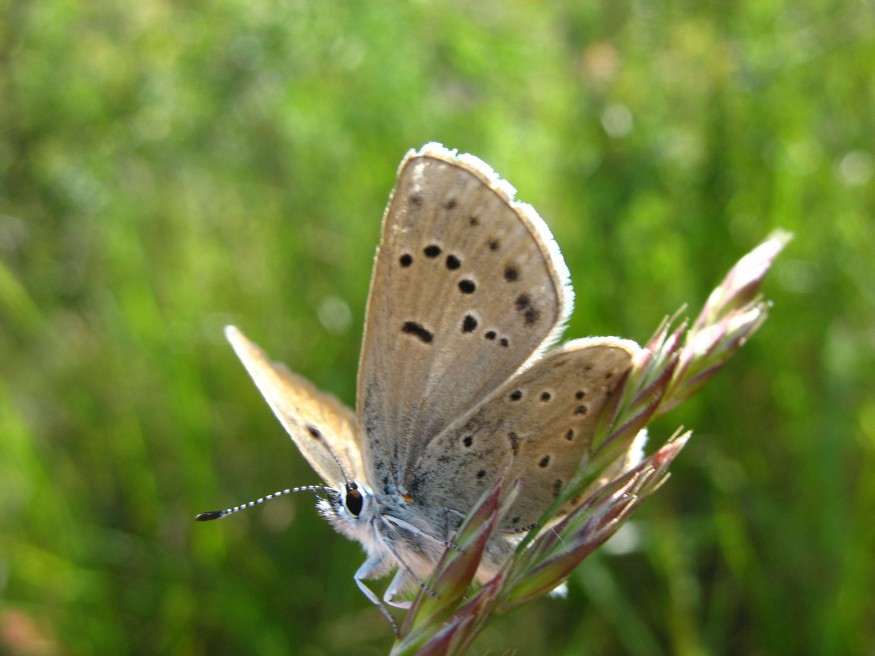 A light, blue hued butterfly with dark spots on its wings rests on a branch in a field