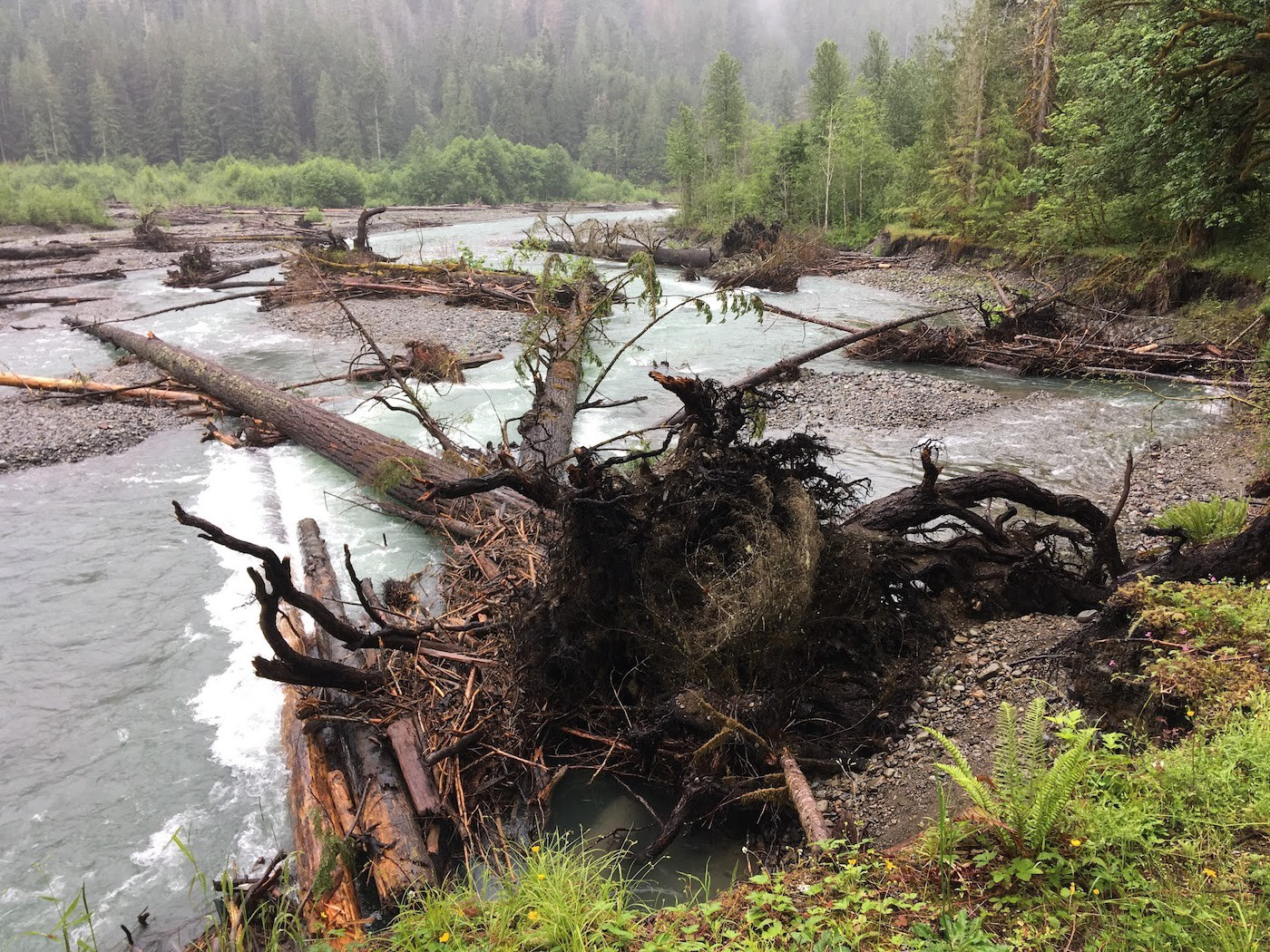An enormous Douglas fir tree laying in the river among other old trees, still attached to its rootball.