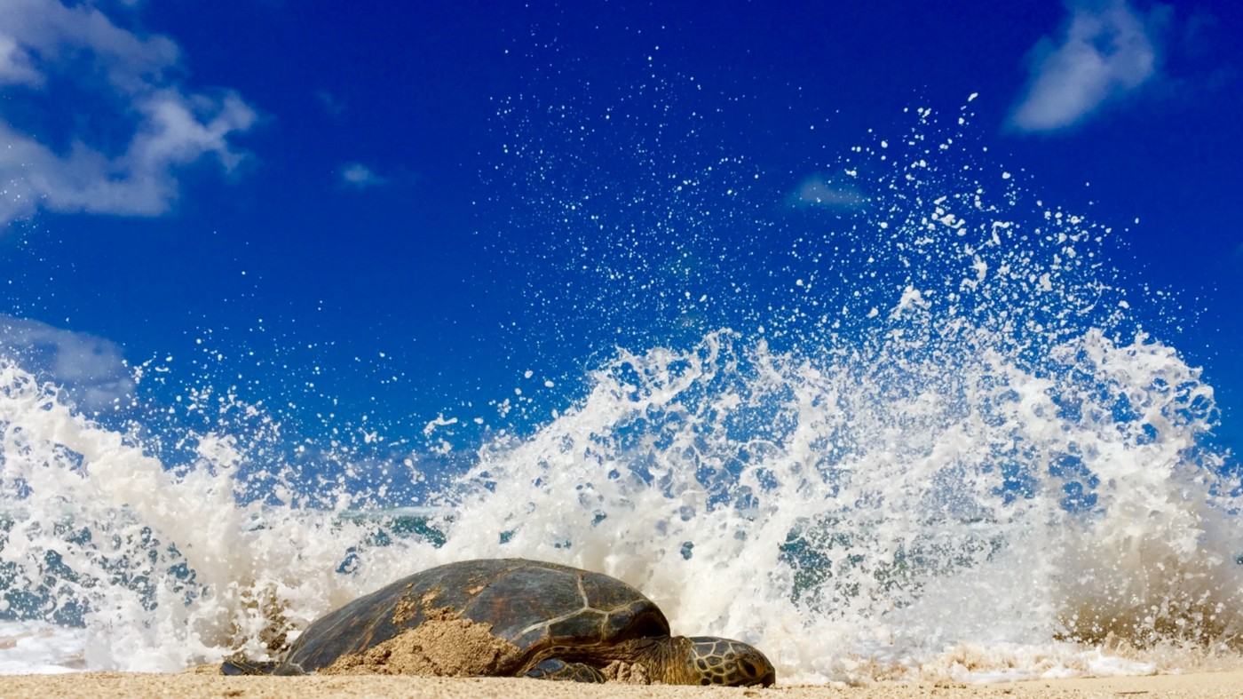 A turtle sunbathing at noon at the beach, a wave crashing from behind it