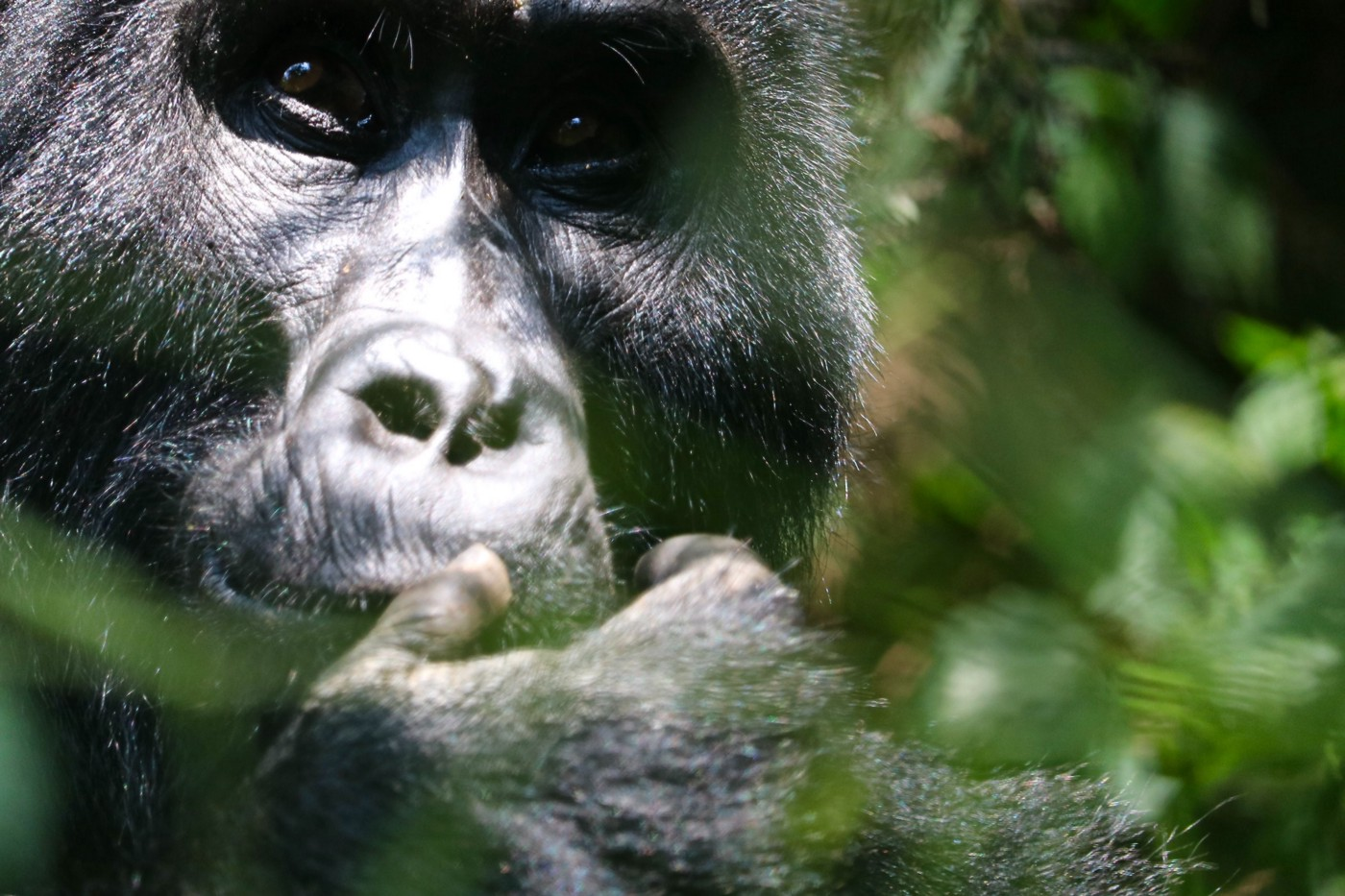 A gorilla standing among leaves, touching its thumb to its lips.