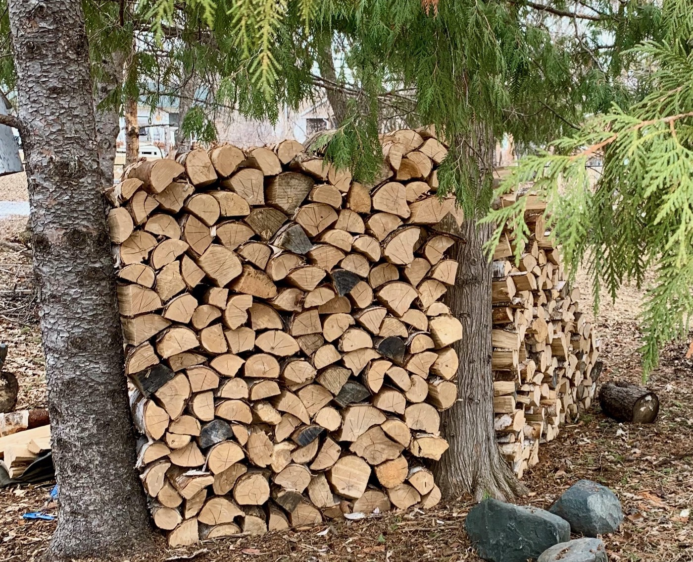 A stack of birch firewood in between two large trees in a back yard scene