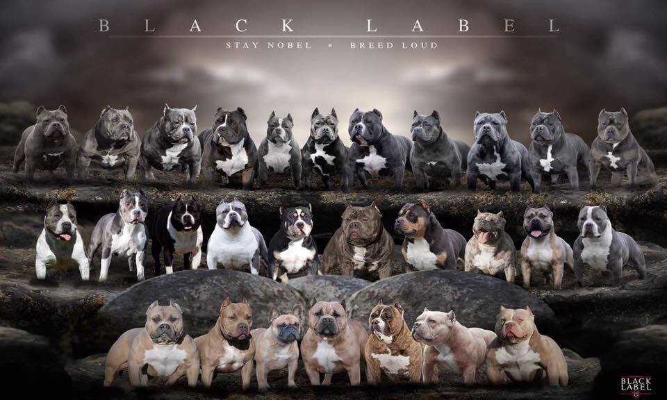 How Much Does An American Bully Cost? - BULLY KING Magazine - Medium