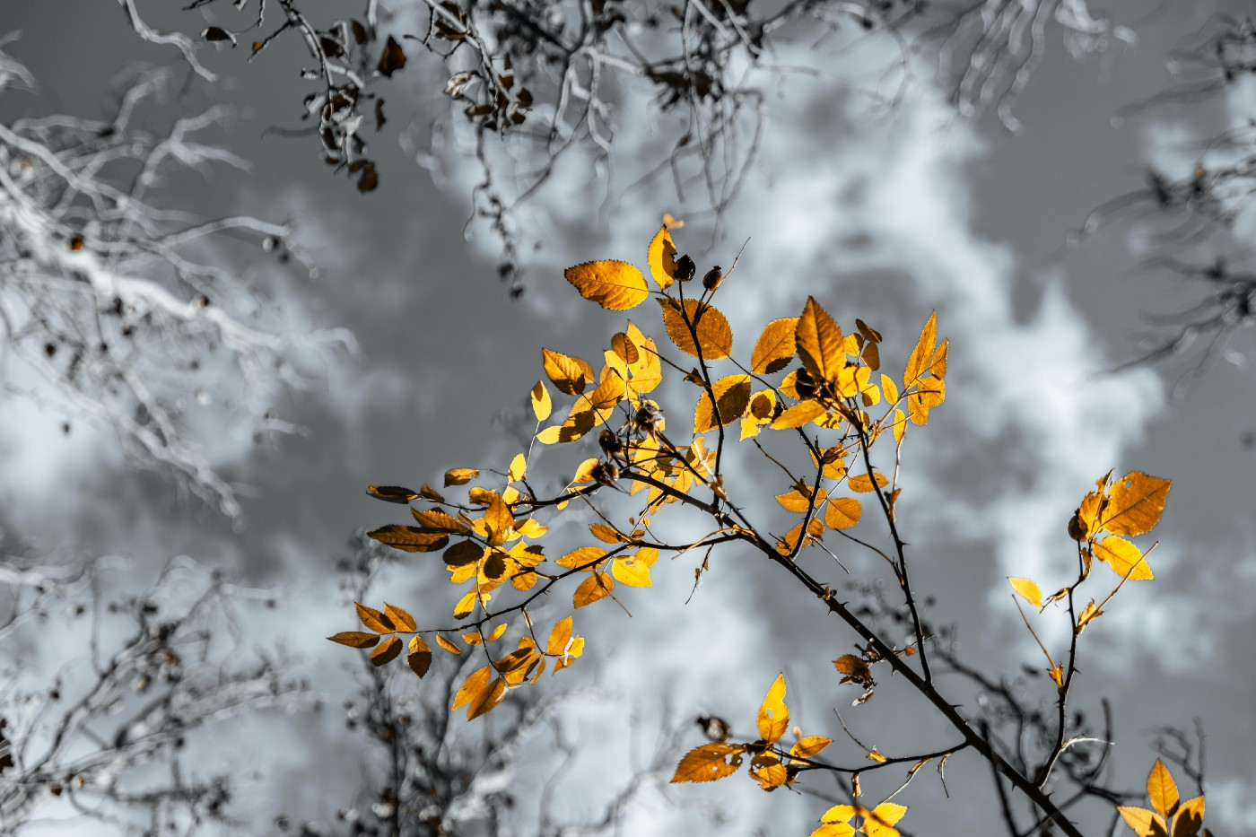 Golden leaves on a branch with a black&white background.