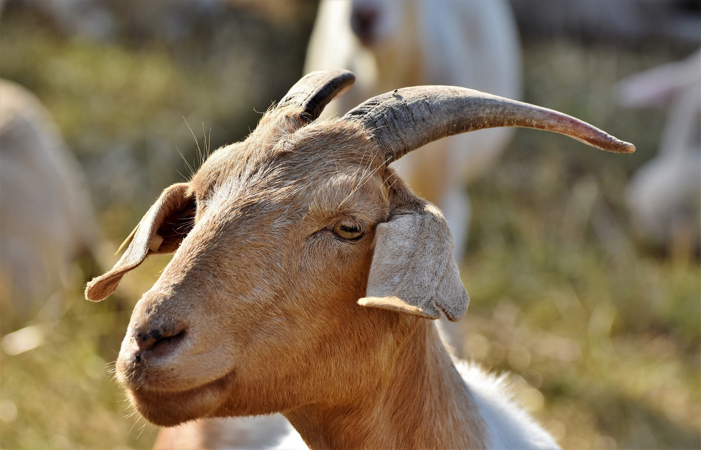 A tan goat with two horns standing on a hillside.