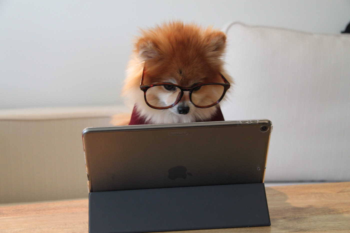 Cookie the Pom reading her work emails with her glasses on. Work from home with dogs