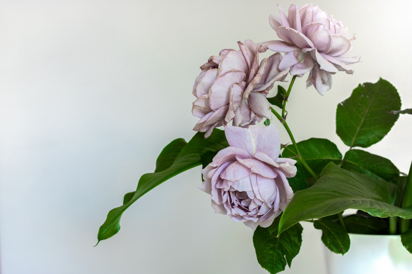 Picture of lilac roses